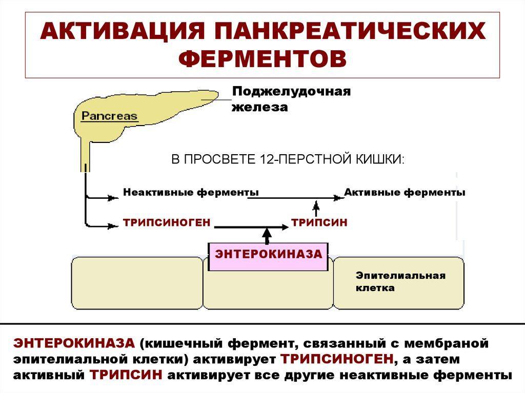 Активация пищеварительных ферментов