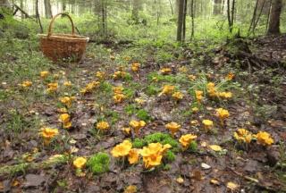 Сбор лисичек в лесу