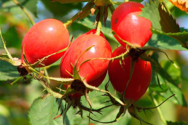 В плодах шиповника содержатся много витаминов и микроэлементов