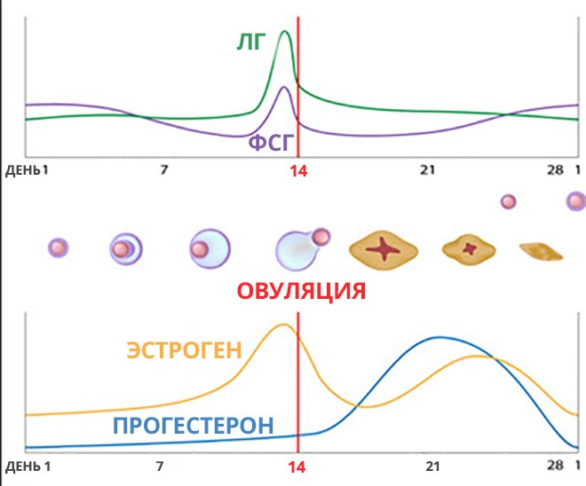 График овуляции. Соотношения гормонов ЛГ, ФСГ, Прогестерона, Эстрогена