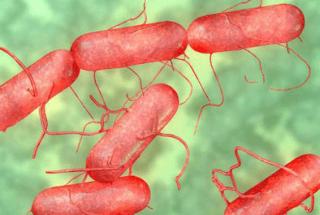 Развитие бактерий сальмонеллы