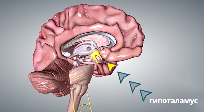 Гипоталамус в мозгу