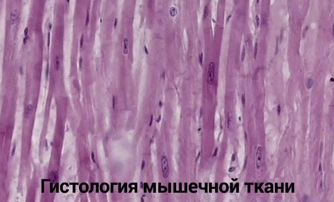 Гистология мышечной ткани