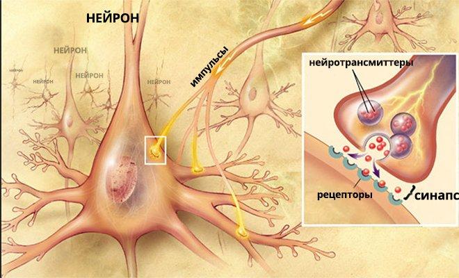 Нейрон - синапс