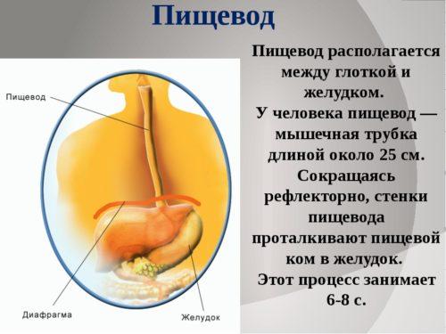 Пищевод у человека