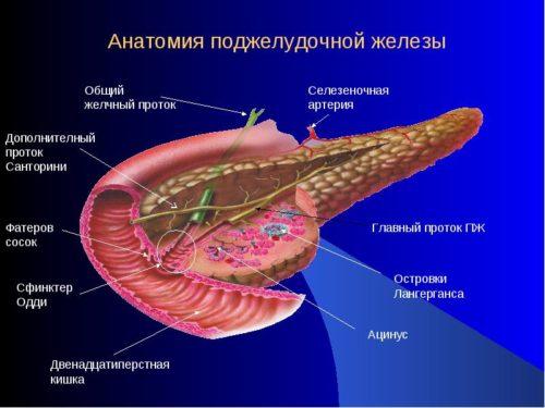 Анатомическое строение поджелудочной железы