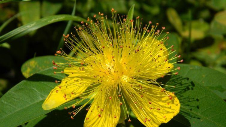 Лечебные травы при дискинезии желчевыводящих путей