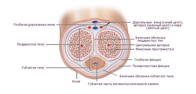Венозный отток осуществляется по глубоким и поверхностным венам пениса, структура которых подразумевает их сообщение.
